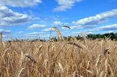 Złoty Pszeniczysko, Błękitne niebo i chmury — Zdjęcie stockowe