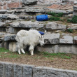 Mountain goat in Moscow zoo — Stock Photo