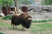 Musk-ox standing on grass — Stock Photo