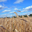 Wheaten field — Stock Photo #9991607