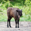 Stock Photo: Europebison calf