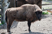 European bison in forest park — Stock Photo