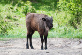 European bison calf — Stock Photo