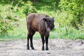 European bison calf — Stock Photo