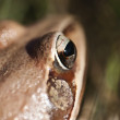 Frog - eye - detail — Stock Photo