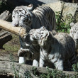 White tiger — Stockfoto