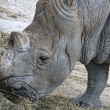 Stock Photo: Rhinoceros (Ceratotherium simum simum)