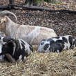 Goats resting - Stock Photo