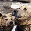 Brown bears (Ursus arctos arctos) — Stock Photo