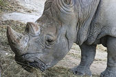 Rhinoceros (Ceratotherium simum simum) — Stock Photo