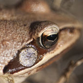 Frog - eye - detail — Stock Photo