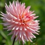 Kwiat w ogrodzie — Stock Photo #8482561