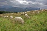 Mountain,Tatry,Poland,lamb — Stock Photo