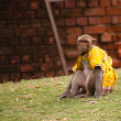 Domesticated macaque sitting — Stock Photo