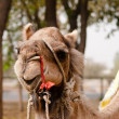 Indian domesticated camel close up — Stock Photo