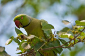 Green parrot on branch eating buds — Stock Photo