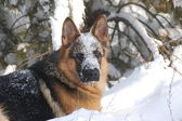 German Shepard Dog at winter. — Stock Photo