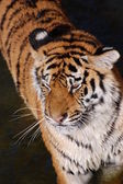Tigre dans l'eau — Photo