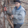Gardener pruning the grape — Stock Photo