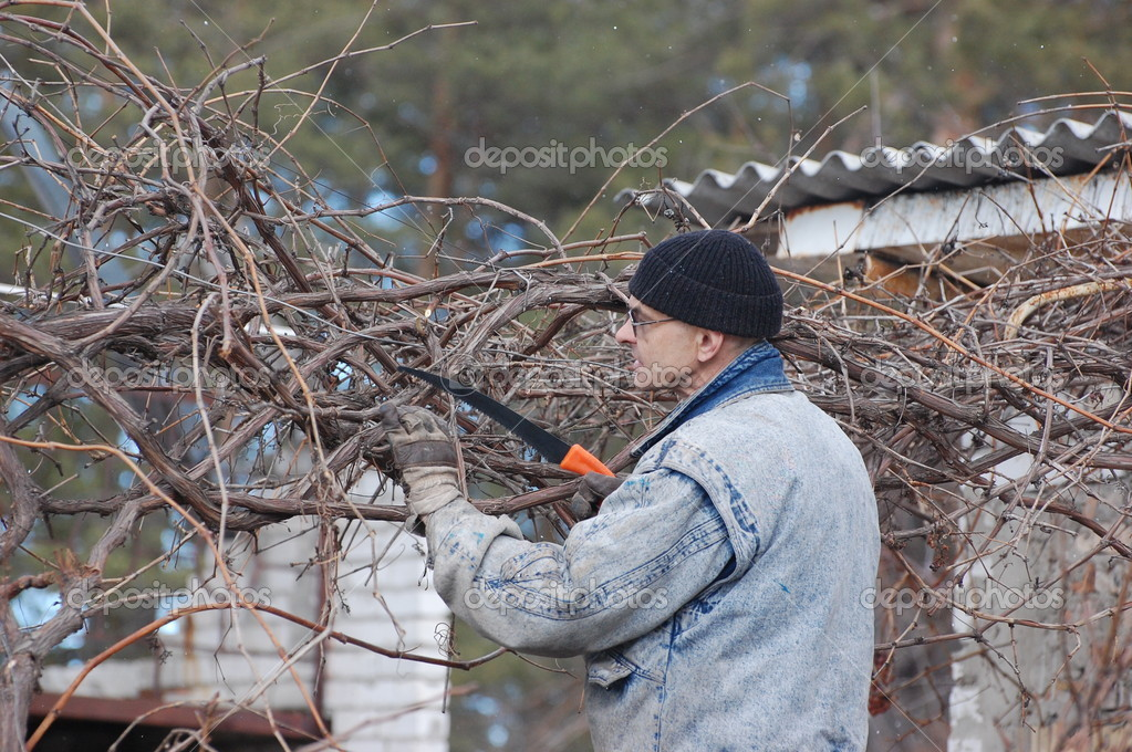 Gardener pruning the branches of grape in early spring. Near Kiev,Ukraine   Stock Photo #9521873