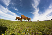 Cows on green field — Stock Photo