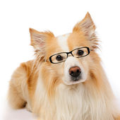 Border Collie with glasses — Stock Photo