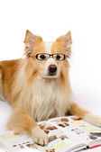 Dog reading book — Stock Photo