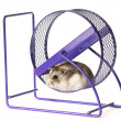 Hamster in a hamster wheel - Stock Photo
