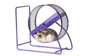 Hamster in a hamster wheel — Stock Photo