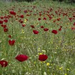 Red poppy flower field — Stockfoto