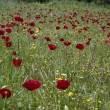 Red poppy flower field — ストック写真