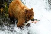 бурый медведь — Стоковое фото