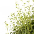 Oregano plant — Stock Photo