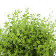 Stock Photo: Oregano plant