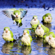 Monk Parrots — Stock Photo #8404348