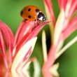 Royalty-Free Stock Photo: Ladybug