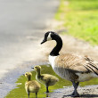 Goslings - Stock Photo