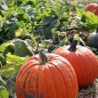 Large pumpkins - Stock Photo