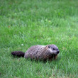 Royalty-Free Stock Photo: Ground hog