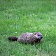 Stock Photo: Ground hog