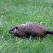 Ground hog — Stock Photo #8408281
