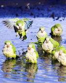 Monk Parrots — Stock Photo