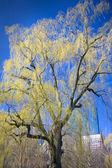 A beautiful weeping willow tree — Stock Photo