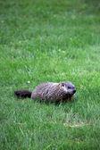 Ground hog — Stock Photo