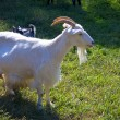 Goat at farm — Stock Photo