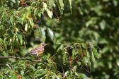 Robin en árbol — Foto de Stock