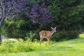 Deer in wild — Stock Photo
