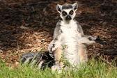 Pie de lémur de cola llevada — Foto de Stock