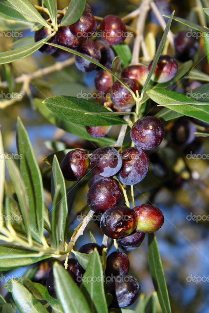 Load a branch of olives damaged by hail  Stock Photo #8421074