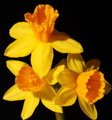 Daffodils isolated on black — Stock Photo
